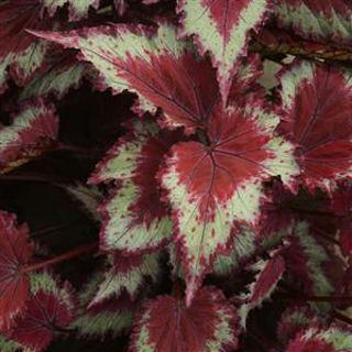 Picture of Begonia Rex Jurassic Red Splash