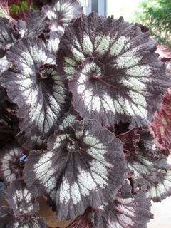 Picture of Begonia Rex Jurassic Silver Swirl