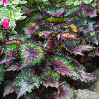 Picture of Begonia Rex Jurassic Watermelon