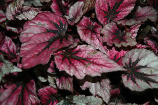 Picture of Begonia Rex Shadow King Pink