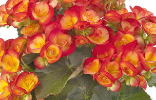 Picture of Begonia Rieger Carnival Bi-Color