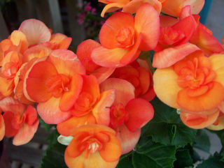 Picture of Begonia Rieger Orange
