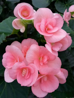 Picture of Begonia Rieger Pink