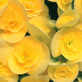 Picture of Begonia Rieger Yellow