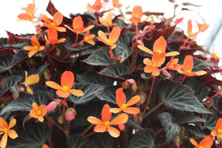 Picture of Begonia Sparks Will Fly