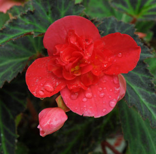 Picture of Begonia Unbelievable First Kiss