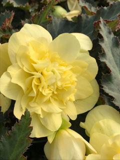 Picture of Begonia Unbelievable Tweetie Pie