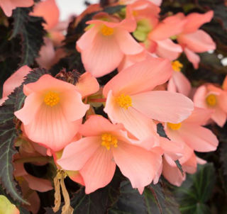 Picture of Begonia Unstoppable Upright Salmon
