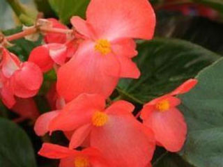 Picture of Begonia Whopper Red w/ Green Leaf
