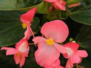 Picture of Begonia Whopper Rose w/ Green Leaf