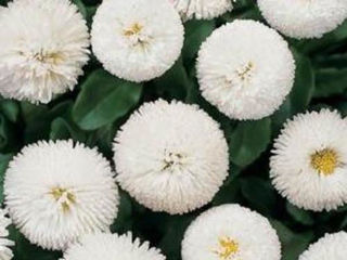 Picture of Bellis Bellissima White