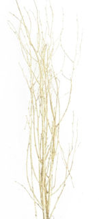 """Picture of Birch Tips Painted Gold 24""""-28"""""""