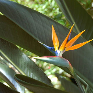 Picture of Bird Of Paradise