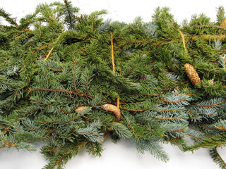 Picture of Blue Spruce Bale