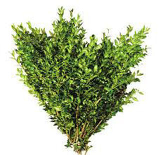Picture of Boxwood Case