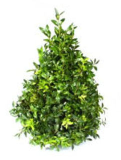 Picture of Boxwood Trees