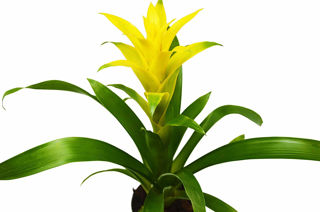 Picture of Bromeliad Guzmania Yellow