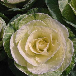 Picture of Cabbage Crane White