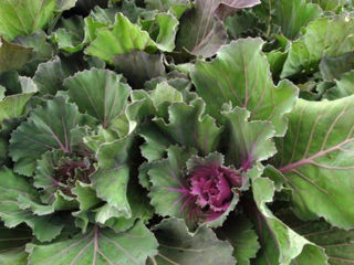 Picture of Cabbage Osaka Pink