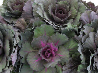 Picture of Cabbage Osaka Red
