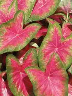 Picture of Caladium Rose Glow Pink
