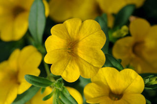 Picture of Calibrachoa Cabaret Deep Yellow