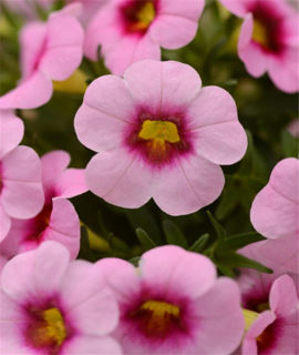 Picture of Calibrachoa Cabaret Lt Pink Kiss