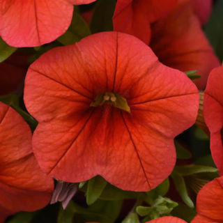 Picture of Calibrachoa Cabaret Orange