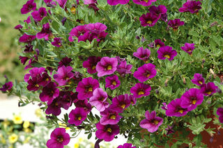 Picture of Calibrachoa Cabaret Purple
