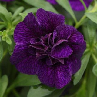 Picture of Calibrachoa MF Uno Dbl Dark Blue