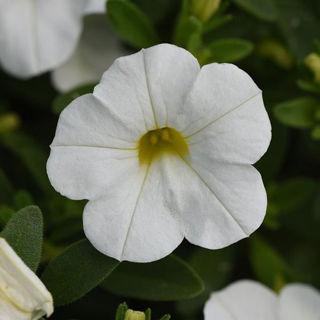 Picture of Calibrachoa MF Uno White