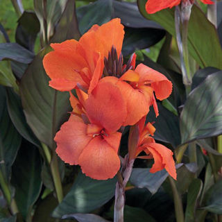 Picture of Canna Cannova Bronze Orange