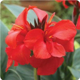 Picture of Canna Cannova Red Shades