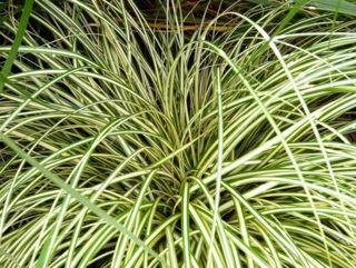 Picture of Carex O'Shea Evergold