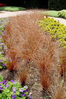 Picture of Carex Red Rooster
