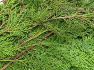 Picture of Cedar Blue Coned Bunch