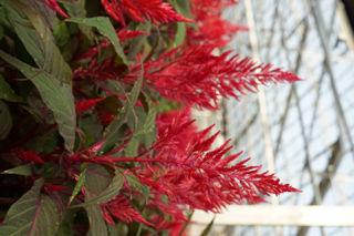 Picture of Celosia Dragons Breath