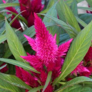 Picture of Celosia Intenz Lipstick