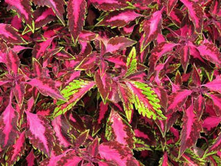 Picture of Coleus Chaotic Rose