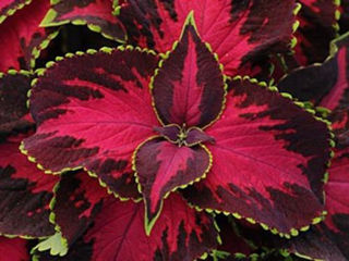 Picture of Coleus Chocolate Covered Cherry