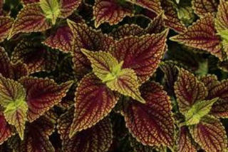 Picture of Coleus Coleosaurus