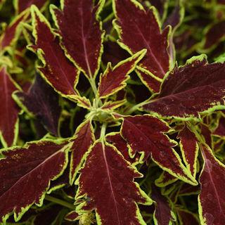 Picture of Coleus Flamethrower Cajun Spice