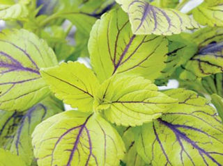 Picture of Coleus Gays Delight