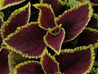 Picture of Coleus Kong Jr Scarlet