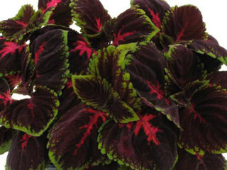 Picture of Coleus Kong Red