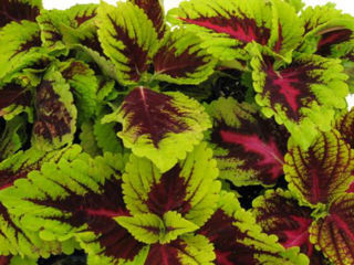 Picture of Coleus Kong Rose