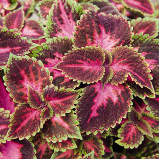 Picture of Coleus Mainstreet Fifth Avenue