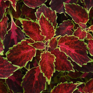 Picture of Coleus Party Time Ruby Punch
