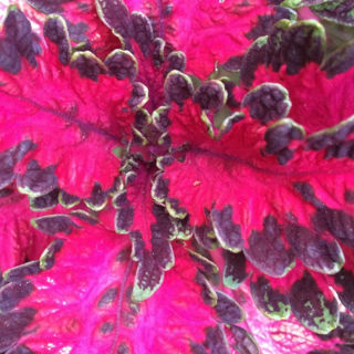 Picture of Coleus Under The Sea Pink Reef