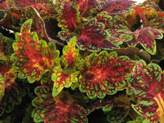 Picture of Coleus Watermelon